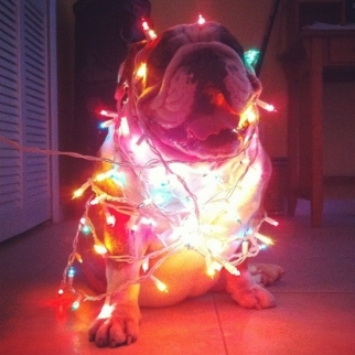 A photo from the Buzzfeed post '30 Dogs Who Think They're Christmas Trees'