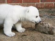 Tens of thousands visit Knut each day in Berlin
