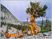 The oldest living tree is a 4,767-year-old bristlecone pine. There's a lesson for businesses in that.