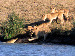 Buffalo stance: Lions vs. crocodiles in 'Battle at Kruger'