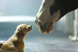 A Bud puppy and a Clydesdale in a previous Super Bowl ad