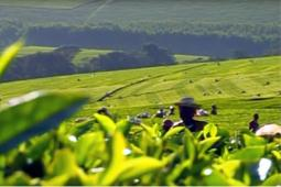 Unilever sustainable tea farming video