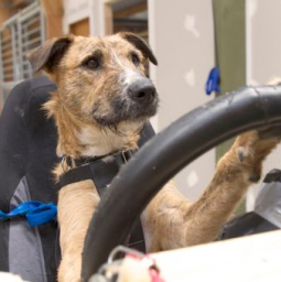 The SPCA in Auckland, New Zealand, taught three dogs to drive.