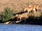 A Tale of Water Buffalo, Lions, Crocs and Two Lucky Ducks