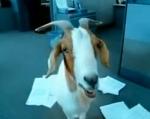Goat: It's the New Monkey