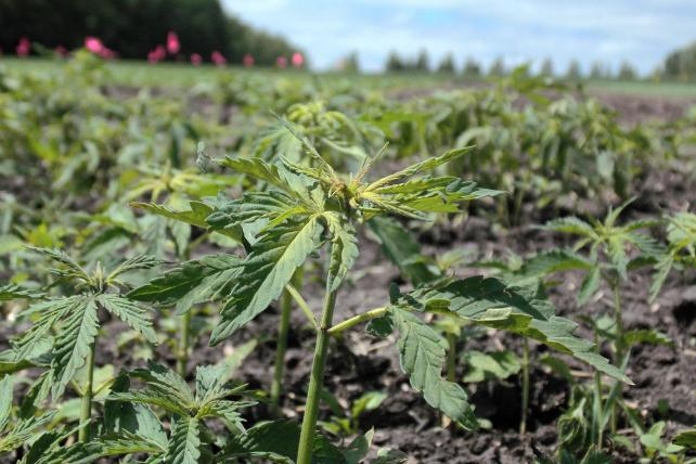 A field of hemp, which marketers can use in linens, food and personal-care products.