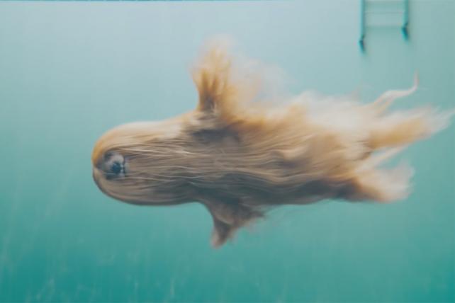 Mesmerizing Video of a 'Mermaid' Afghan Dog Boosts Instagram