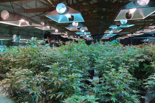 A marijuana grow room at Marisol Gardens in Pueblo, Colo.