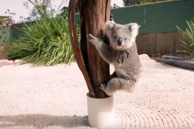 Move Over, 'Star Wars': Young Koala and Clumsy Cat Win This Week's Viral Chart