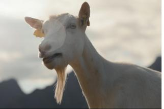 Tine Goat