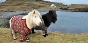 Visit Scotland Shetland Ponies in Cardigans - Print